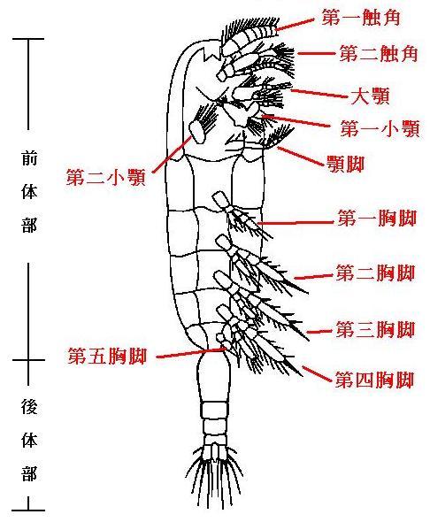 カイアシ類の体:竹原ステーショ...